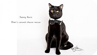 Bombay Cat for adoption in Corona, California - SAMMY DAVIS - UPLAND