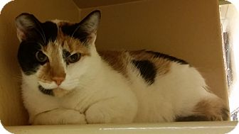 Calico Cat for adoption in North Haven, Connecticut - Clara