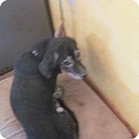Adopt A Pet :: Gramps Too - Albuquerque, NM