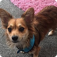 Chihuahua Mix Dog for adoption in Norman, Oklahoma - Cajun