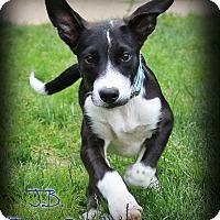 Adopt A Pet :: James Bond - Shippenville, PA