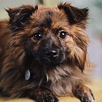 Adopt A Pet :: Evie - Portland, OR