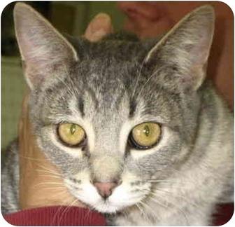 Domestic Shorthair Cat for adoption in Alden, Iowa - Blue
