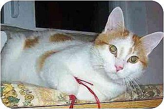 Domestic Shorthair Cat for adoption in Chapman Mills, Ottawa, Ontario - KRAMER (Happy)