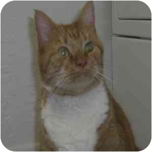 Domestic Shorthair Cat for adoption in Phoenix, Arizona - Howie