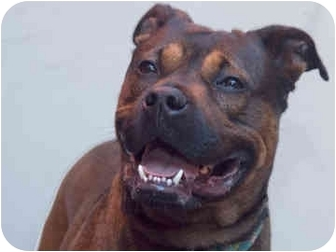 American Staffordshire Terrier/Boxer Mix Dog for adoption in New York, New York - Shepter
