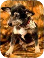 Cairn Terrier Mix Dog for adoption in Cole Camp, Missouri - Meg