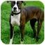 Photo 3 - Boxer Mix Dog for adoption in Sacramento, California - Sweety Pie loving