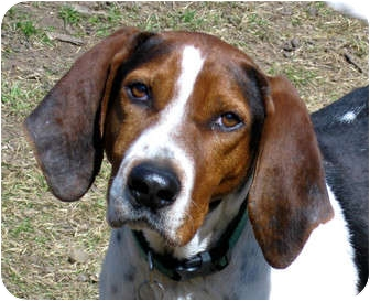 Treeing Walker Coonhound Dog for adoption in Jacksonville, Florida - Peter