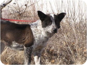 Australian Cattle Dog Mix Puppy for adoption in Roosevelt, Utah - Lexi