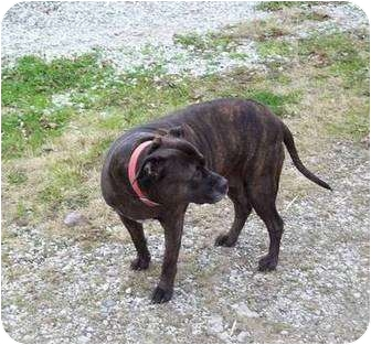 American Pit Bull Terrier Mix Dog for adoption in Florence, Indiana - Schema
