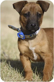 Terrier (Unknown Type, Medium)/Shar Pei Mix Puppy for adoption in Broomfield, Colorado - Henry