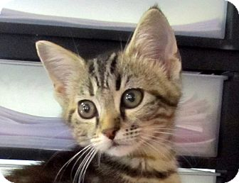 Domestic Shorthair Kitten for adoption in Marseilles, Illinois - Lara