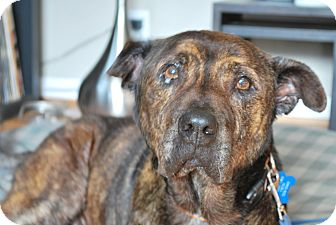 Shar Pei/American Pit Bull Terrier Mix Dog for adoption in Los Angeles, California - CLOONEY- needs a home!