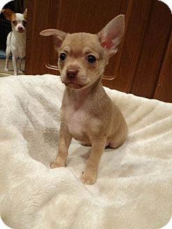 Chihuahua Puppy for adoption in Salem, Oregon - Saylor