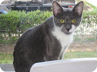Domestic Shorthair Cat for adoption in Huffman, Texas - Chloe Emily