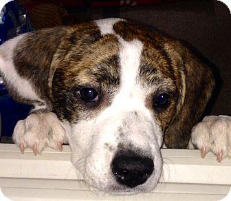 Beagle/Terrier (Unknown Type, Medium) Mix Puppy for adoption in Wilmette, Illinois - Faith
