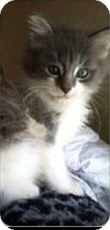 Domestic Shorthair Kitten for adoption in Hazard, Kentucky - Willy