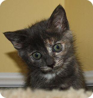 Domestic Shorthair Kitten for adoption in Virginia Beach, Virginia - Sally