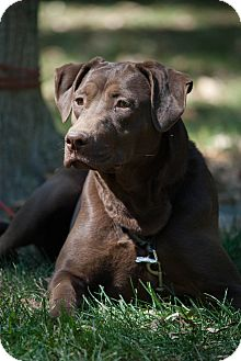 Labrador Retriever Mix Dog for adoption in Lewisville, Indiana - Gracie