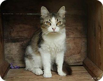 Domestic Mediumhair Cat for adoption in Germantown, Maryland - Squeak