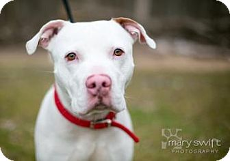 American Bulldog/Pit Bull Terrier Mix Dog for adoption in Reisterstown, Maryland - Jimmy