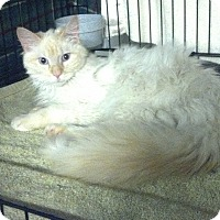 Adopt A Pet :: Himmie Baby - Grayslake, IL