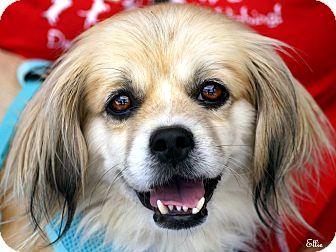 Pekingese/Shih Tzu Mix Dog for adoption in Vista, California - Ellie