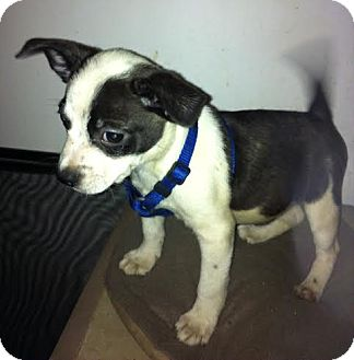 Boston Terrier/Australian Cattle Dog Mix Puppy for adoption in Baltimore, Maryland - Bishop