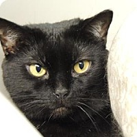 Domestic Longhair Cat for adoption in Westville, Indiana - Midnight aka Petunia