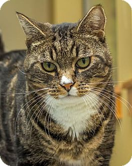 Domestic Shorthair Cat for adoption in Bellingham, Washington - Tito