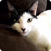Domestic Shorthair Cat for adoption in New York, New York - Bianca