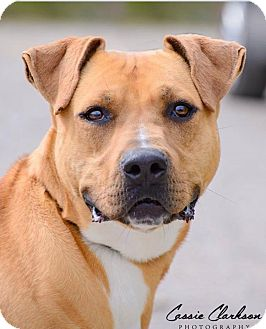 American Pit Bull Terrier Mix Dog for adoption in Zanesville, Ohio - Trey - ADOPTED!