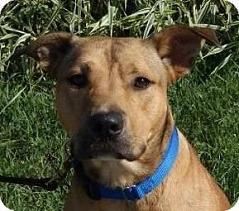 Shepherd (Unknown Type) Mix Dog for adoption in Monroe, Michigan - Skipper