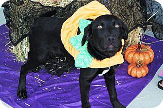 Labrador Retriever Mix Puppy for adoption in Ogden, Utah - Axel