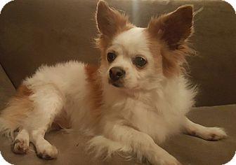 Chihuahua/Pomeranian Mix Dog for adoption in Oakland, Michigan - Buddy