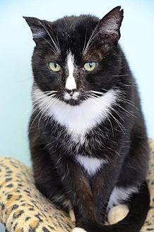 Domestic Shorthair Cat for adoption in Atlanta, Georgia - Donovan161653