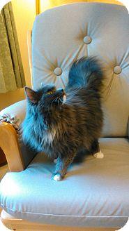 Persian Cat for adoption in Farmington, Pennsylvania - Bella