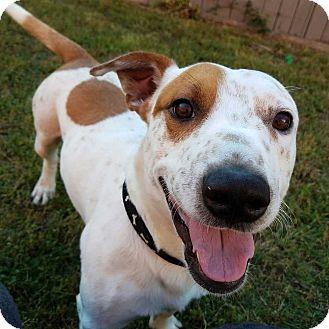 Welsh Corgi/Basset Hound Mix Dog for adoption in Woodstock, Georgia - Romeo