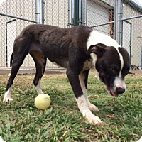 Adopt A Pet :: Grace - Weatherford, TX