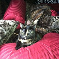Calico Cat for adoption in Fort Myers, Florida - Aphrodite
