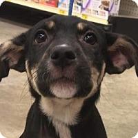 Adopt A Pet :: DARCY-PATTISON - Katy, TX