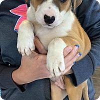Adopt A Pet :: Oasis - Manassas, VA