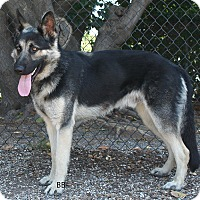 German Shepherd Dog Dog for adoption in Santa Barbara, California - Maximus