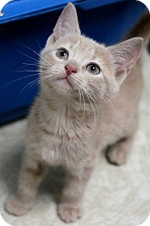 Domestic Shorthair Kitten for adoption in Montclair, New Jersey - Zelda