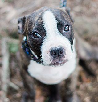 Boston Terrier/American Staffordshire Terrier Mix Puppy for adoption in Seneca, South Carolina - Tank $250