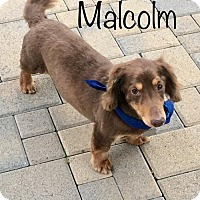 Adopt A Pet :: Malcolm - Los Angeles, CA