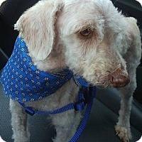 Adopt A Pet :: Andy - Rabito - El Cajon, CA