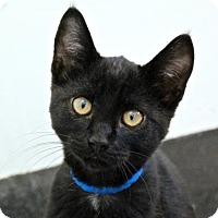 Domestic Mediumhair Cat for adoption in San Francisco, California - Gumby