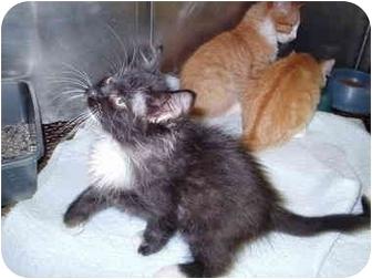 Domestic Longhair Kitten for adoption in Warrensburg, New York - Tinkerbell